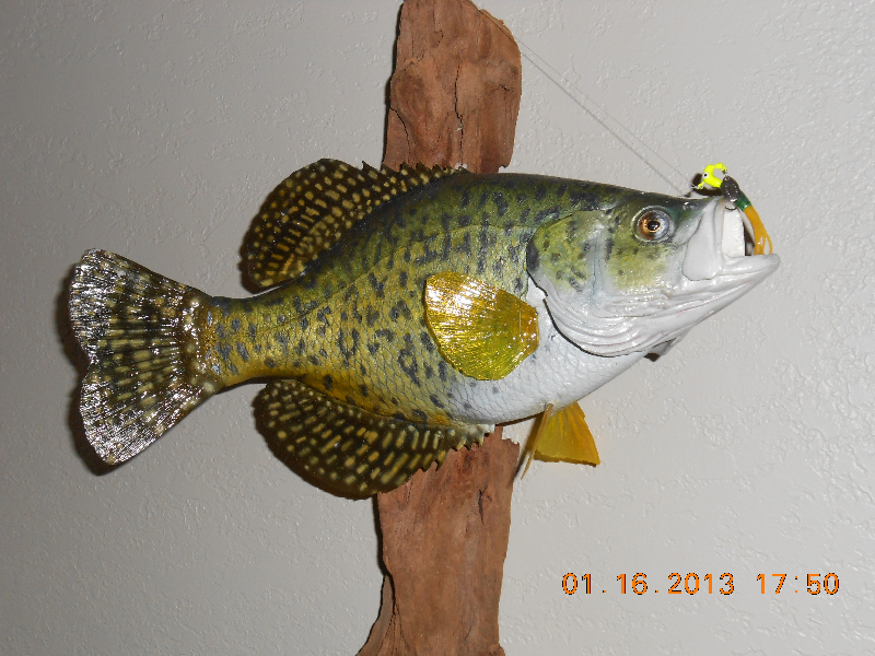 Open acres taxidermy freshwater and saltwater fish for How to taxidermy a fish