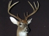 Nine Point Buck Shoulder Mount