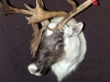 Caribou Shoulder Mount